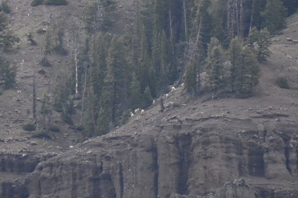 mountain goats on the mountain in Lamar Valley Yellowstone