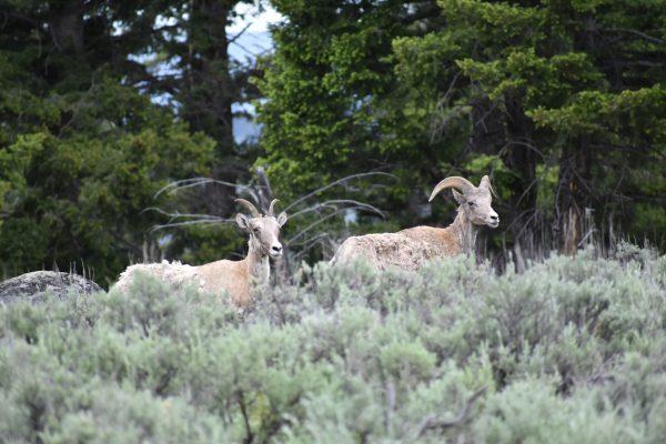 big horn sheep near Roosevelt Lodge