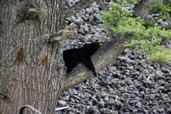 Black bear in tree near Tower Roosevelt Yellowstone