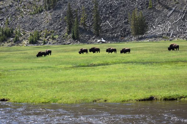 Things to do near Madison Yellowstone: Buffalo near Madison River