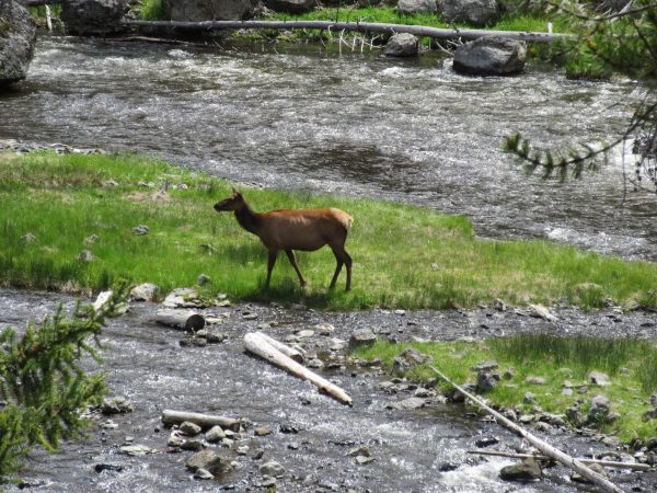 Elk near firehold river in Yellowstone