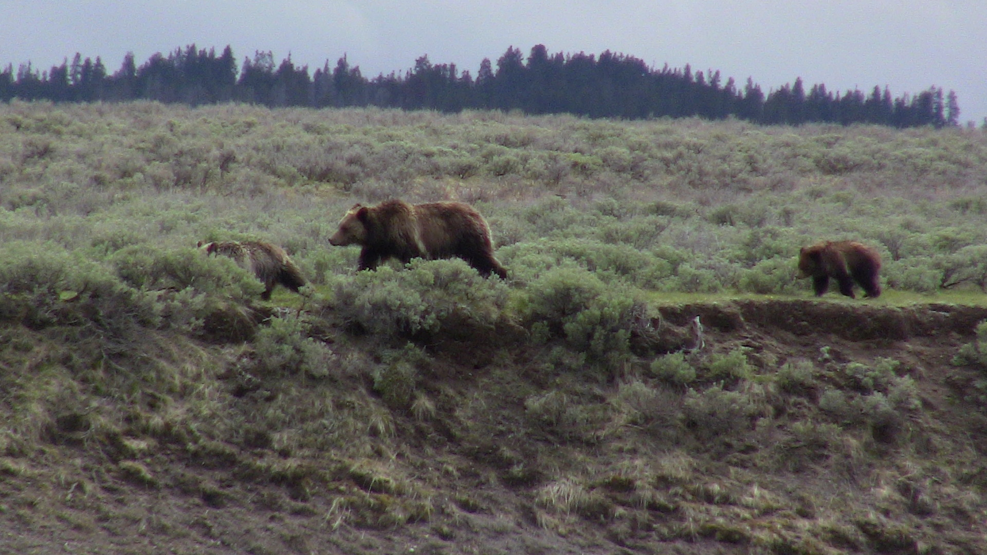 Mom grizzly bear with two cubs