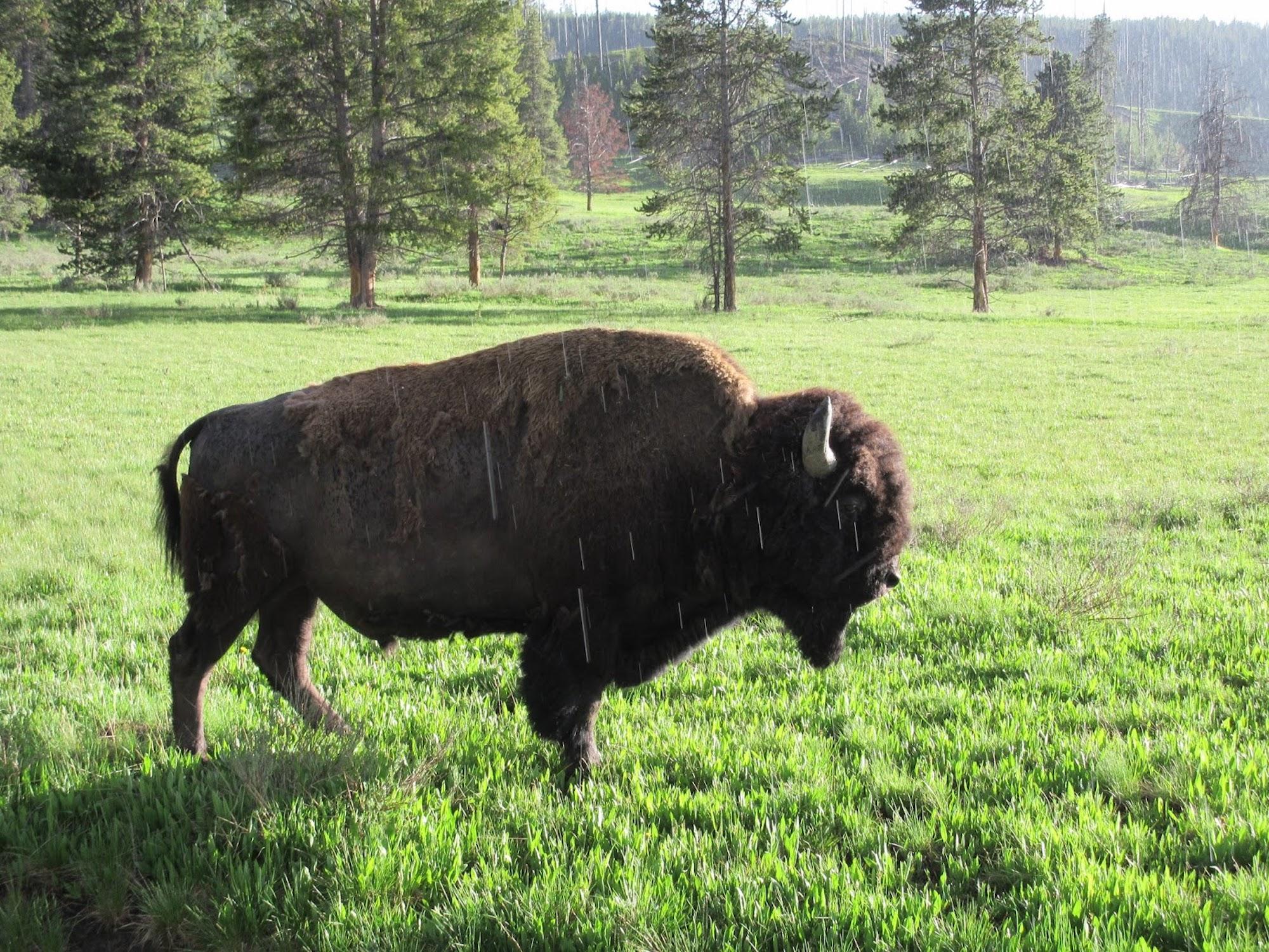 Bison in rain