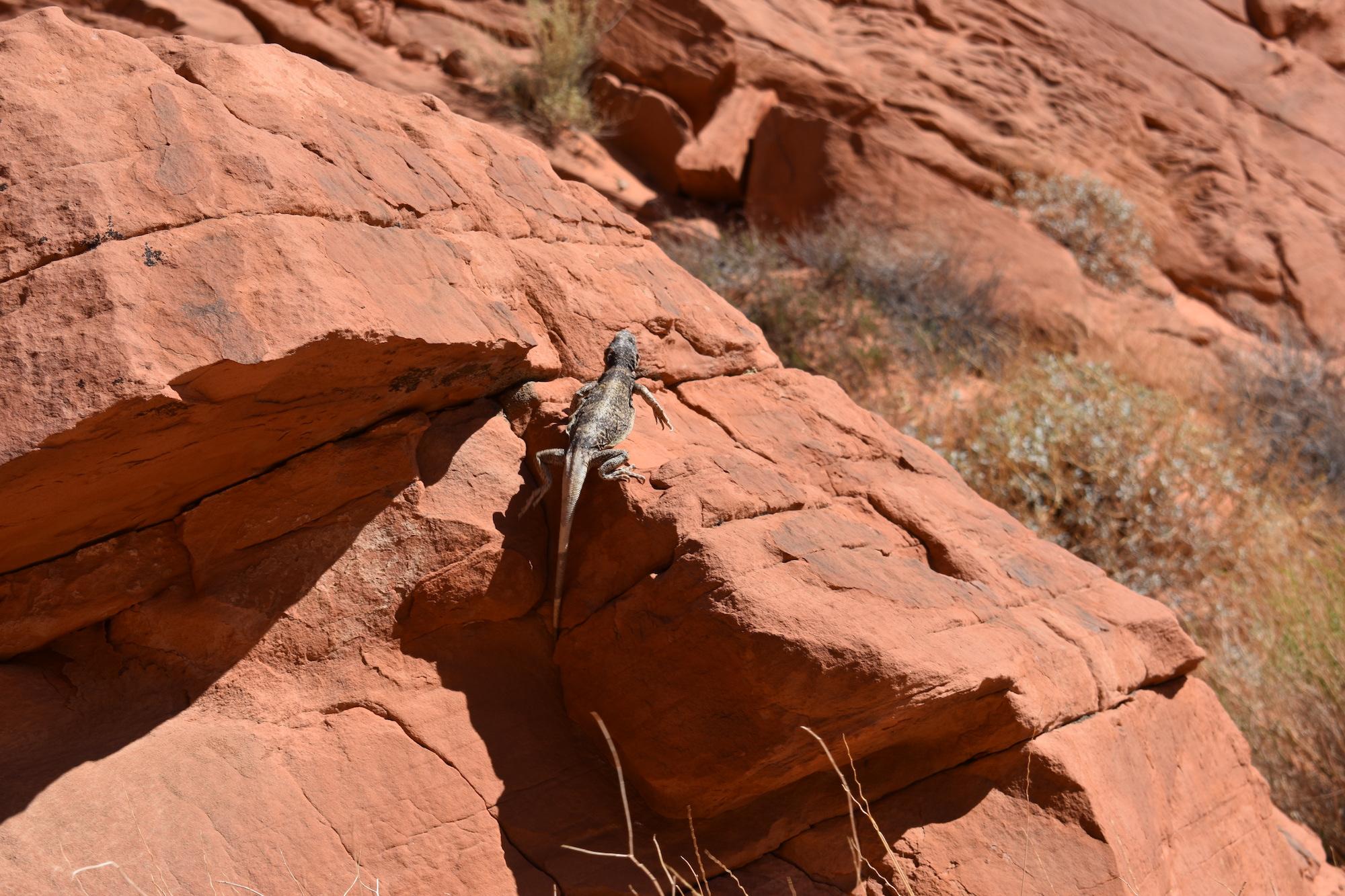 Chuckwalla on the rocks