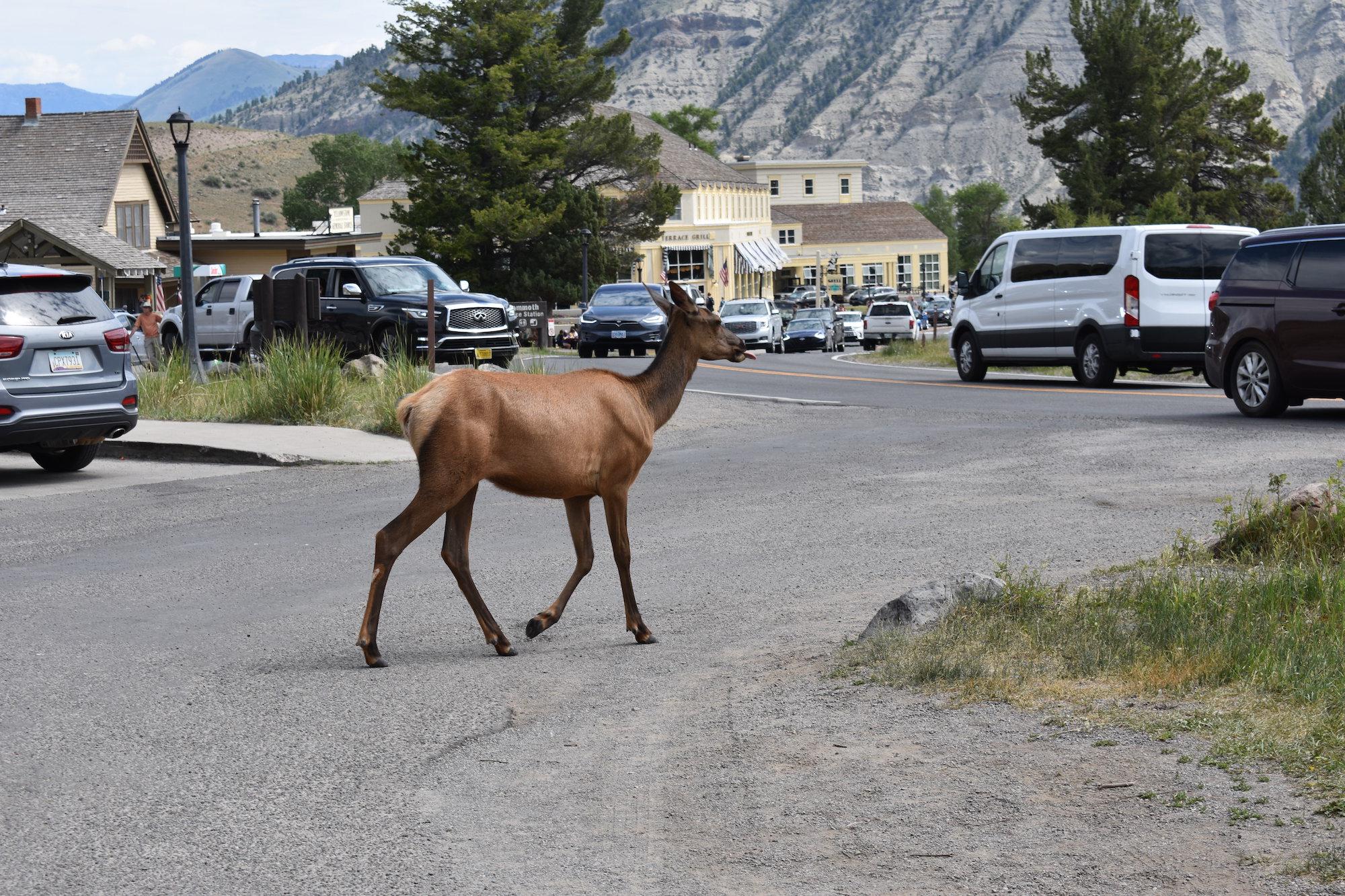elk walking through Mammoth Yellowstone