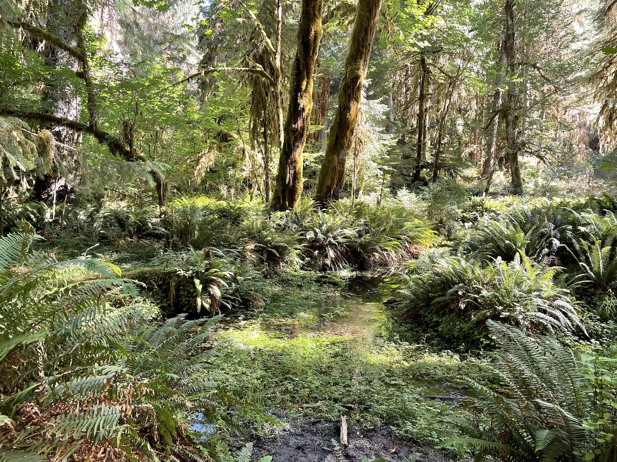 hoh rainforest olympic national park